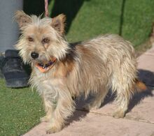 PINO, Hund, Cairn Terrier-Mix in Schwanstetten - Bild 2