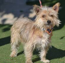 PINO, Hund, Cairn Terrier-Mix in Schwanstetten - Bild 3