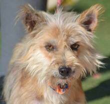PINO, Hund, Cairn Terrier-Mix in Schwanstetten - Bild 4