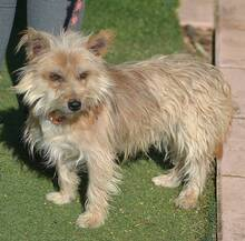 PINO, Hund, Cairn Terrier-Mix in Schwanstetten - Bild 6