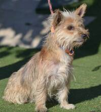 PINO, Hund, Cairn Terrier-Mix in Schwanstetten - Bild 7