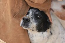 ZHAR, Hund, Pointer-Mix in Spanien - Bild 5