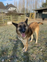 MAXIM, Hund, Malinois-Mix in Aerzen - Bild 2