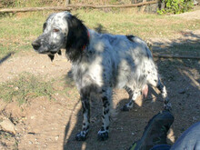 RODINA, Hund, English Setter in Griechenland - Bild 3