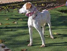 COCO, Hund, Pointer-Mix in Spanien - Bild 10