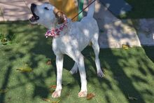 COCO, Hund, Pointer-Mix in Spanien - Bild 12