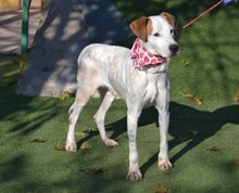 COCO, Hund, Pointer-Mix in Spanien - Bild 7