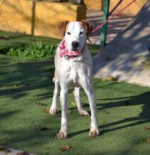 COCO, Hund, Pointer-Mix in Spanien - Bild 9
