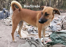 MANTECADA, Hund, Podenco-Malinois-Mix in Spanien - Bild 2