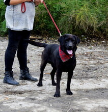 DYX, Hund, Labrador-Mix in Slowakische Republik - Bild 3
