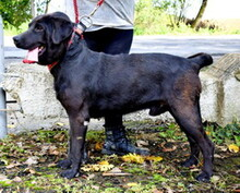 DYX, Hund, Labrador-Mix in Slowakische Republik - Bild 5