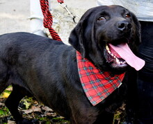 DYX, Hund, Labrador-Mix in Slowakische Republik - Bild 6