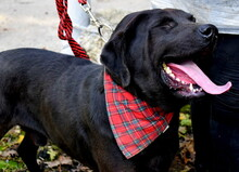 DYX, Hund, Labrador-Mix in Slowakische Republik - Bild 8