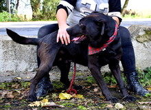 DYX, Hund, Labrador-Mix in Slowakische Republik - Bild 9