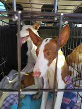 CHANAYA, Hund, Podenco in Spanien - Bild 3