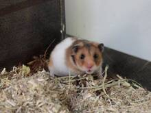 COOKIE, Nager, Goldhamster in Hamburg