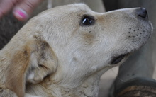 CHICHITA, Hund, Shar Pei-Mix in Italien - Bild 7