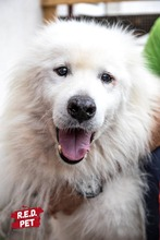 BLANCO, Hund, Samojede-Mix in Bulgarien - Bild 1