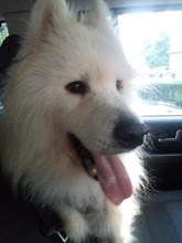 BLANCO, Hund, Samojede-Mix in Bulgarien - Bild 2