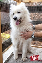 BLANCO, Hund, Samojede-Mix in Bulgarien - Bild 4