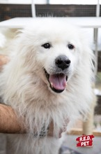 BLANCO, Hund, Samojede-Mix in Bulgarien - Bild 5