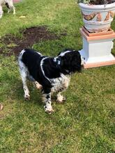AMORINA, Hund, English Springer Spaniel in Italien - Bild 1