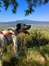 SANTOS, Hund, English Setter-Mix in Griechenland - Bild 2