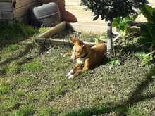 CANDY, Hund, Podenco in Spanien - Bild 2
