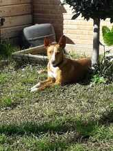 CANDY, Hund, Podenco in Spanien - Bild 3
