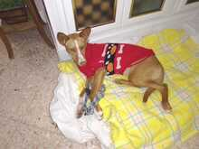 CANDY, Hund, Podenco in Spanien - Bild 5