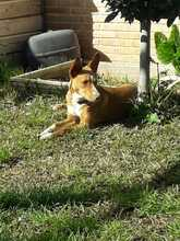 CANDY, Hund, Podenco in Spanien - Bild 6