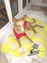 CANDY, Hund, Podenco in Spanien - Bild 7