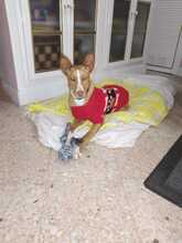 CANDY, Hund, Podenco in Spanien - Bild 9