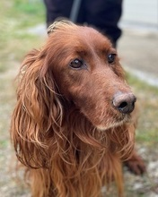GIGGLIN, Hund, Irish Setter in Italien
