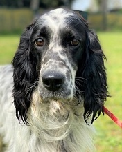 ISPANICO, Hund, English Setter in Italien