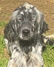 NIAGARA, Hund, English Setter in Italien