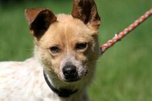 LUCKY, Hund, Parson Russell Terrier-Mix in Neuhausen - Bild 3
