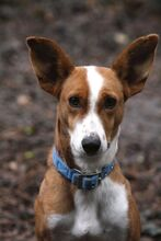 LUCKY, Hund, Podenco in Bad Staffelstein - Bild 1