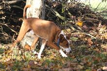 LUCKY, Hund, Podenco in Bad Staffelstein - Bild 3