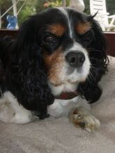 cavalier king charles spaniel louis aus detmold. Black Bedroom Furniture Sets. Home Design Ideas