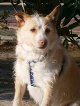 COLIN, Hund, Podenco-Mix in Spanien - Bild 25