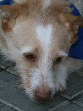 COLIN, Hund, Podenco-Mix in Spanien - Bild 33
