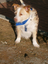 COLIN, Hund, Podenco-Mix in Spanien - Bild 34