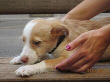 COLIN, Hund, Podenco-Mix in Spanien - Bild 5