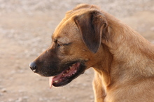 PONGO, Hund, Golden Retriever-Jagdhund-Mix in Italien - Bild 12