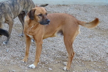 PONGO, Hund, Golden Retriever-Jagdhund-Mix in Italien - Bild 6