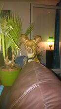 BRUNO, Hund, Podenco-Mix in Leiferde - Bild 7
