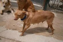 MARY, Hund, Podenco-Mix in Spanien - Bild 2