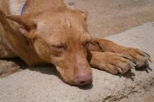 MARY, Hund, Podenco-Mix in Spanien - Bild 4