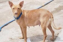 MARY, Hund, Podenco-Mix in Spanien - Bild 5